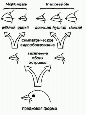 Схема эволюции вьюрков рода