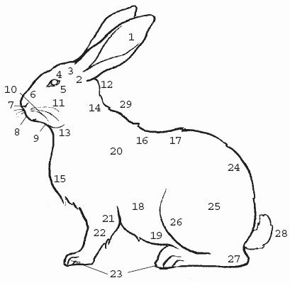 Стати кролика: