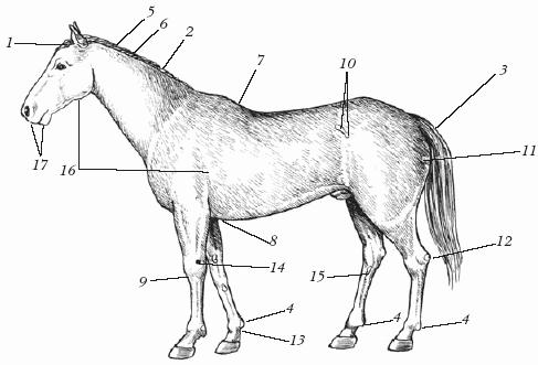 Кожный покров лошади: