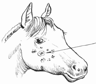 инструкция по сапу лошадей - фото 9