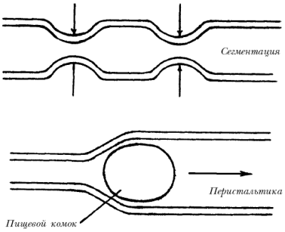 Мышечные волокна способны