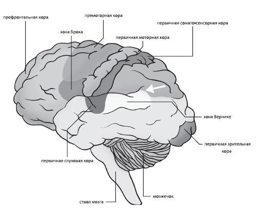 головного мозга человека.