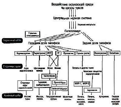 Крупные эндокринные системы